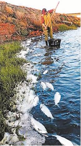 台南的虱目鱼不少被冻死。 资料图片