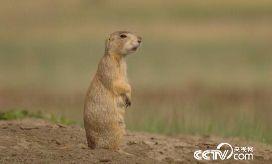 绿色时空:土拨鼠的语言世界 1月21日