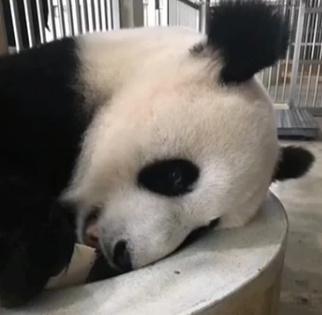 """大熊猫""""靓靓"""""""