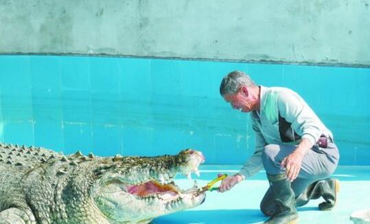 厦门中非世野野生动物园的鳄鱼王成功接受拔牙
