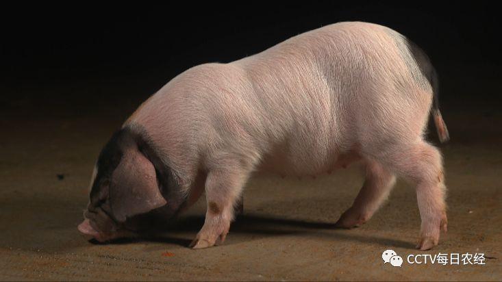 牛眼睛-这样的猪队友,我喜欢