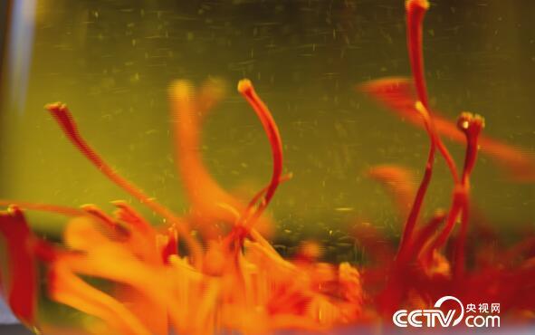 """绿色时空:珍贵""""红花""""藏自崇明岛 1月28日"""