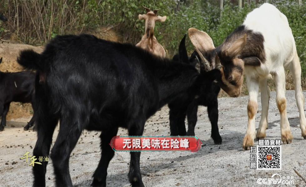 食尚大转盘:黑山羊 1月28日