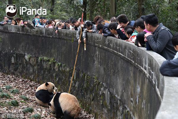 工作人员用打捞的竹竿干扰大熊猫的撕咬