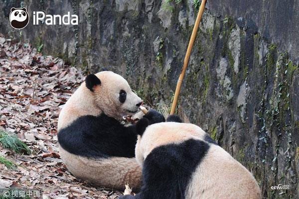 大熊猫正在用牙狂啃撕咬