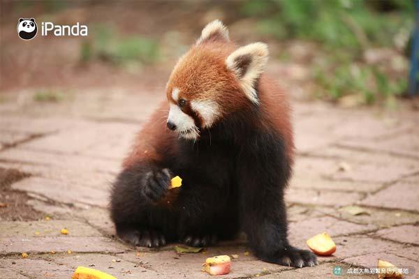 呆萌可爱的小熊猫