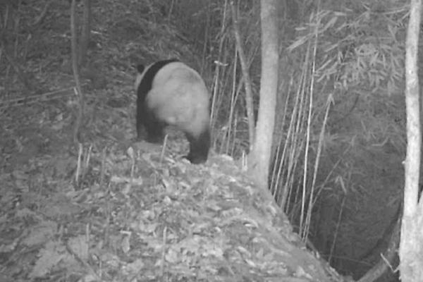 野生大熊猫的背影