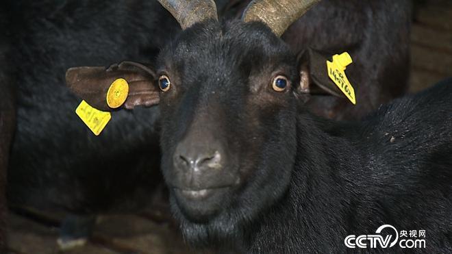 众叛亲离 只为120元一斤的羊