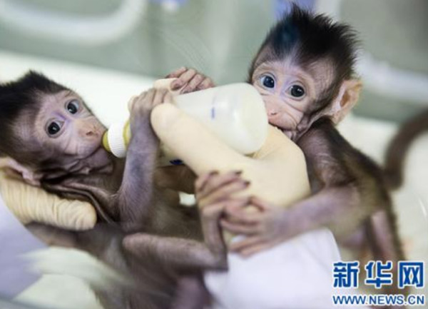 (Cloned Zhong Zhong and Hua Hua at the non-human-primate research facility under the Chinese Academy of Sciences (CAS) in Shanghai    Photo from Xinhua)