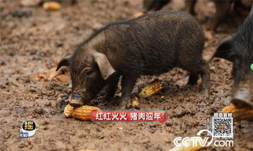 食尚大转盘:瑶山黑猪 2月4日