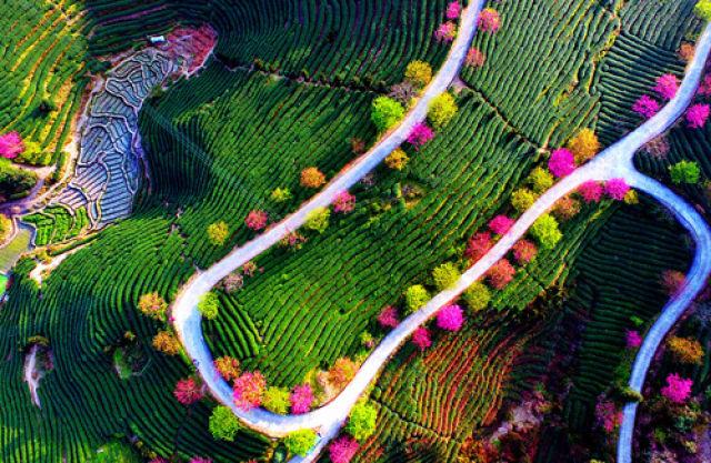 这是位于福建省漳平市永福镇的樱花和茶园。(新华社记者魏培全 摄于2017年2月9日)