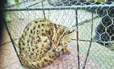 被捕获的豹猫蜷缩在笼子里