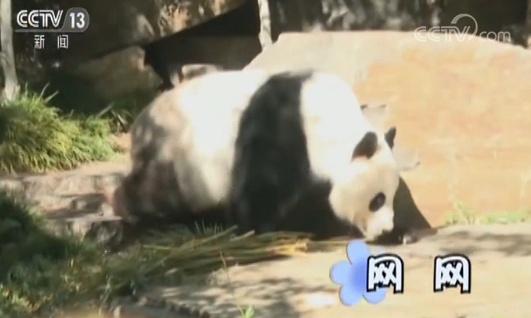 旅澳大熊猫 网网