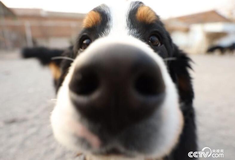 不知道这样子的狗您见过吗↓