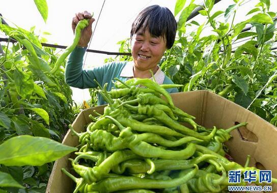 2月25日,河北省乐亭县胡家坨镇金畅果蔬专业合作社的社员在大棚内采摘辣椒。