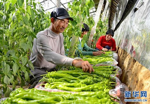 2月25日,河北省乐亭县胡家坨镇金畅果蔬专业合作社的社员将刚采摘的辣椒装箱。