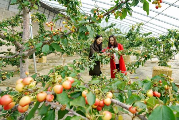 2月27日,游客在秦皇岛市海港区海阳镇祺和樱桃园采摘樱桃。
