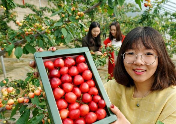 2月27日,游客在秦皇岛市海港区海阳镇祺和樱桃园展示刚采摘的樱桃。