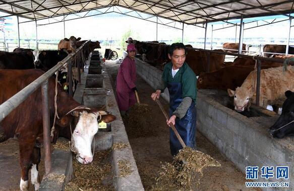 上林县澄泰乡达谋生态种养合作社的饲养员在养牛区喂牛
