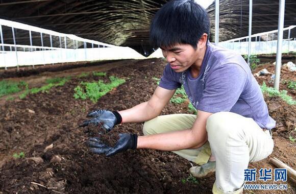 上林县澄泰乡达谋生态种养合作社的工作人员在蚯蚓养殖区查看蚯蚓生长情况