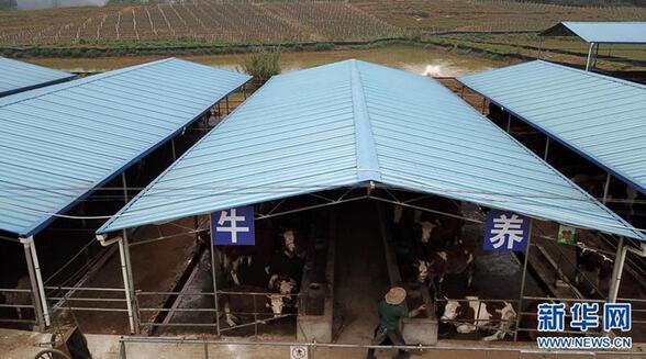 上林县澄泰乡达谋生态种养合作社养牛区