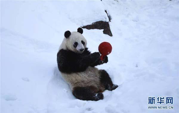 """3月2日,在芬兰艾赫泰里动物园,雌性大熊猫""""金宝宝""""在熊猫馆室外活动区域玩耍。"""