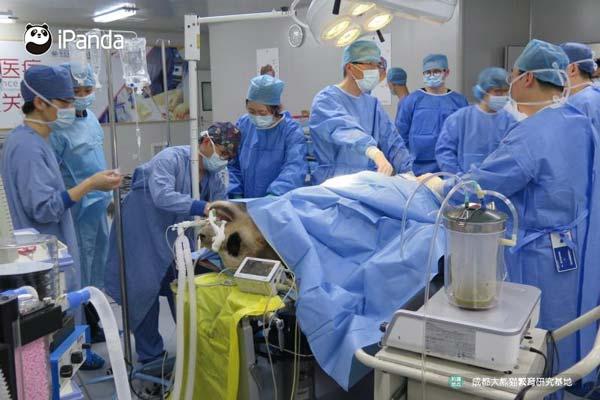"""大熊猫""""成就""""接受手术"""
