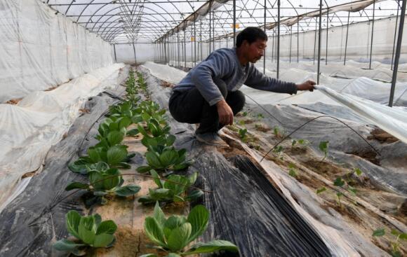 河南省温县赵堡镇农民马三在大棚里查看作物的长势。