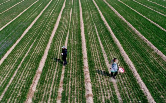 河南省温县赵堡镇农民在麦田劳作。
