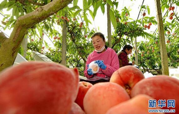 3月11日,唐山市乐亭县新寨镇艾台庄子村的农民将采摘的鲜桃套网装箱。