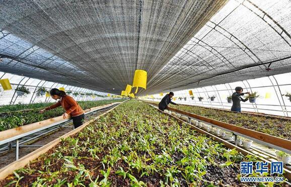 3月11日,唐山市丰润区泉河头镇罗文口村村民在大棚里管理中草药铁皮石斛。