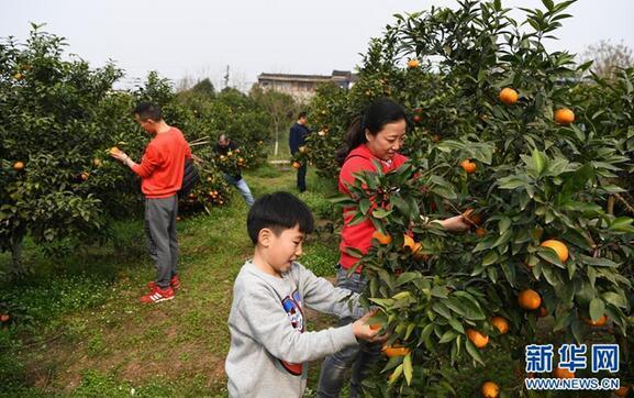 3月11日,市民在重庆市北碚区澄江镇五一村沃柑种植园内采摘沃柑。