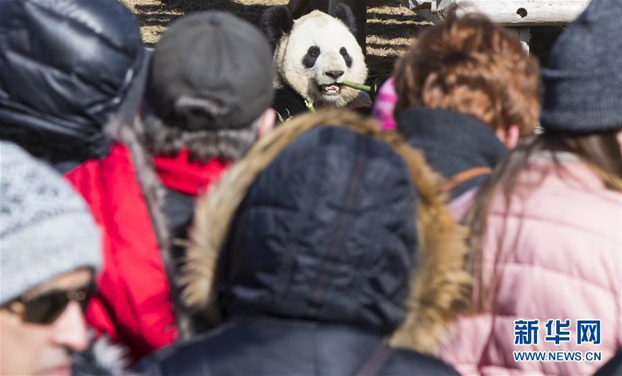 游客参观大熊猫