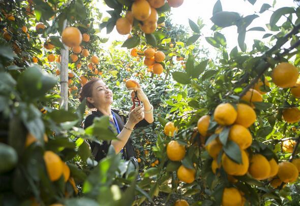 游客在石棉县安顺场体验黄果柑采摘。