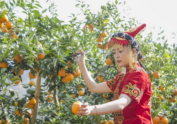 工作人员在石棉县安顺场展示黄果柑采摘。