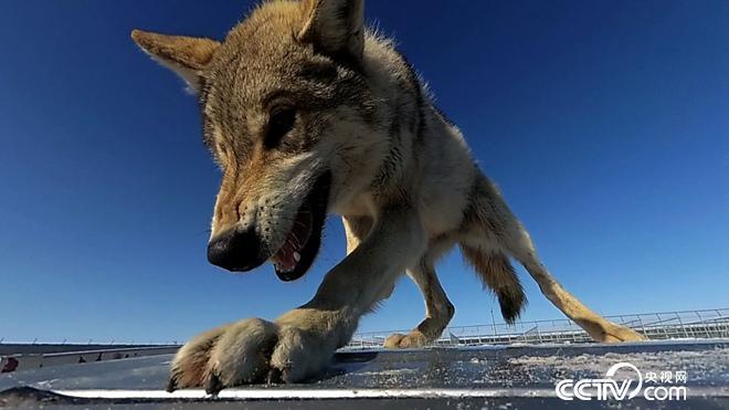 与狼共舞 别样狼财