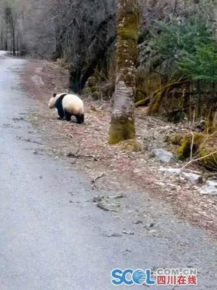 大熊猫走向树林中