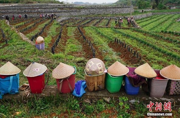 农民在贵州省普定县化处镇化新村韭黄种植基地劳作。