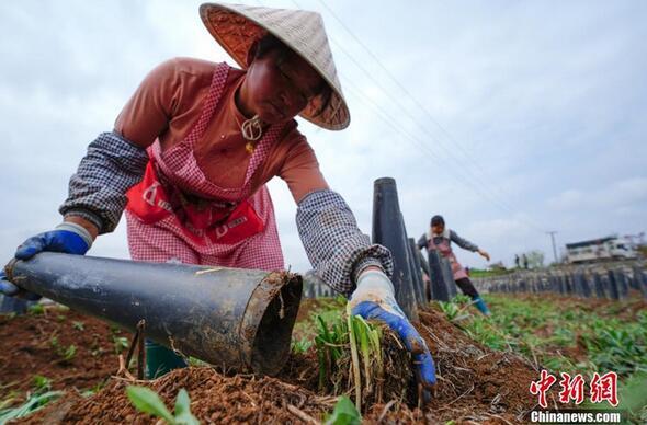 贵州省普定县化处镇化新村韭黄种植基地,一位农民用无害化氧化罩对韭菜进行培植。