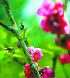 ▲随着气温升高,即将迎来百年校庆的集美大学校园内,满园春色。图为蜜柚花吸引来蜜蜂采蜜。