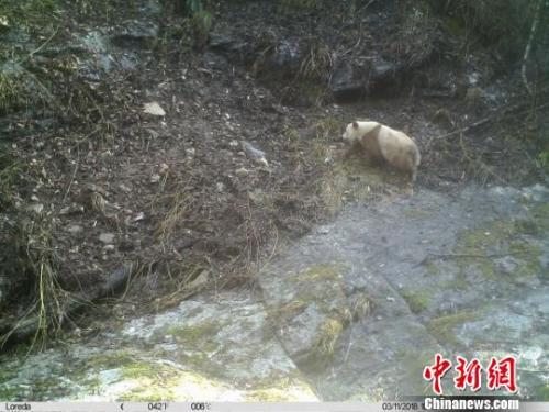 长青自然保护区一个监测位点11日拍摄到一只健康的成年棕色大熊猫个体。长青自然保护区供图