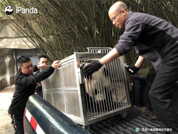 """大熊猫""""大双""""在运输笼里状态良好。"""