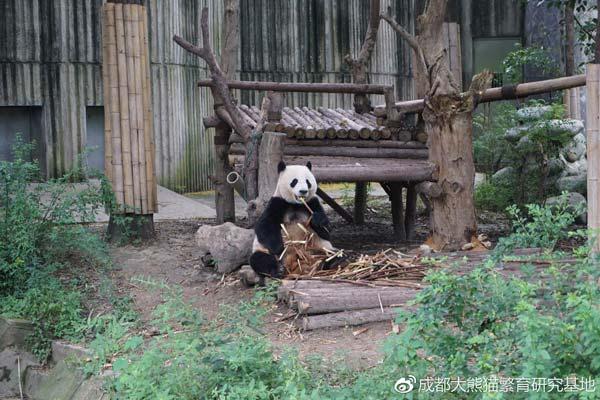 """大熊猫""""大双""""(图片来源:成都大熊猫繁育研究基地)"""