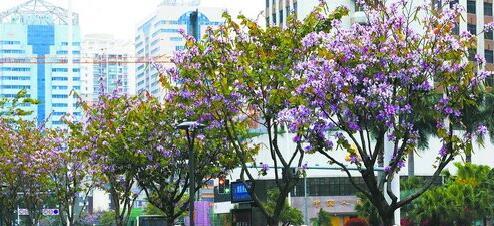 一城春色半城花,厦门四月天,绿色在深度蔓延,美丽在缤纷绽放。图为湖滨南路、后滨路等路段的行道树竞相开花,为高颜值的生态花园之城增色。