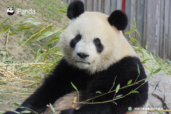 """大熊猫""""星宝"""""""