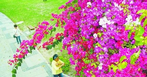 南湖公园游客在三角梅花丛下散步,别有一番韵味。