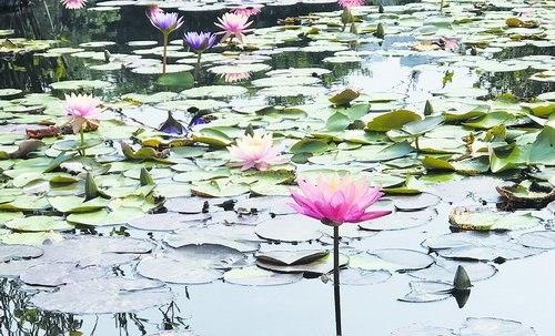 海湾公园内睡莲绽放。