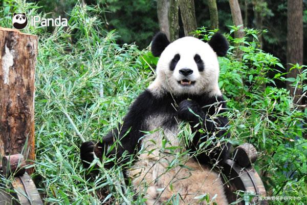 """大熊猫""""福龙"""""""