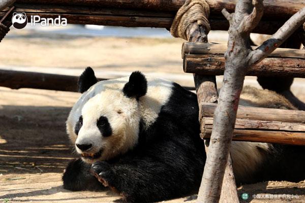 """大熊猫""""福虎"""""""