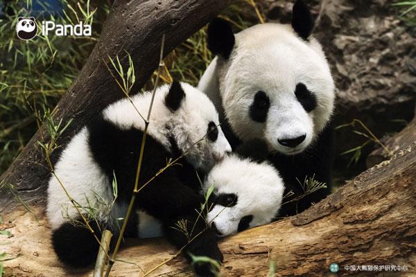 """大熊猫""""阳阳""""与双胞胎""""福凤""""""""福伴""""(资料图)"""